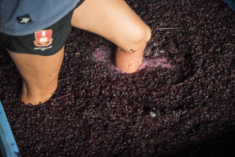 Grape Processing at Urban Winery Sydney