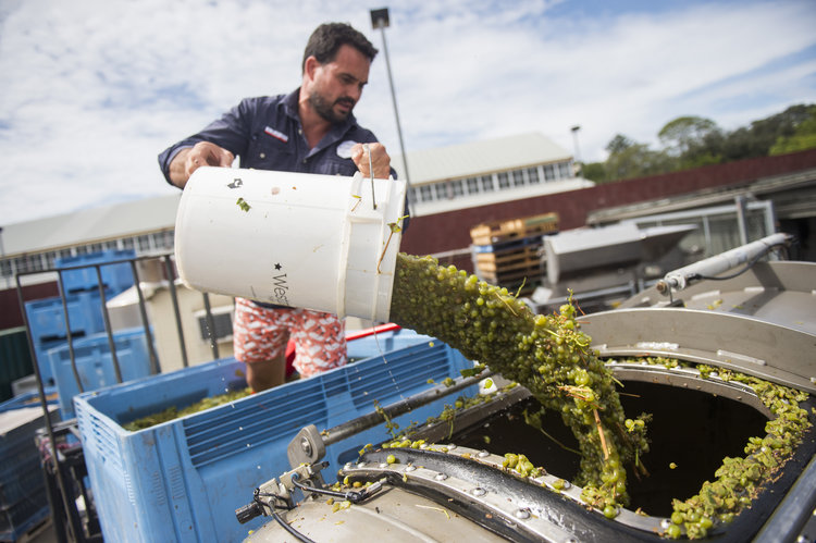 Grape Processing at Urban Winery Sydney